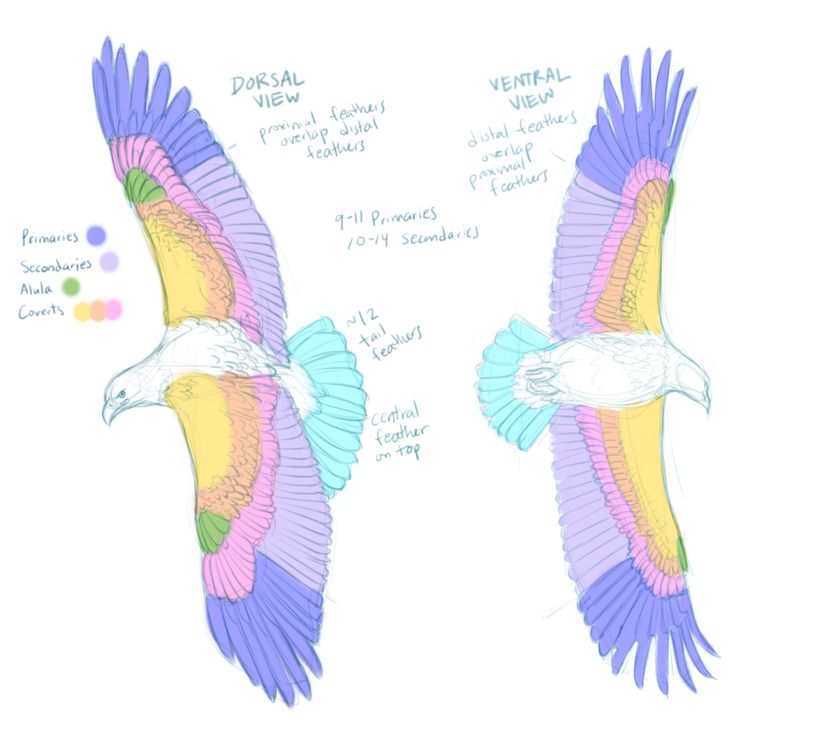 Birds – Feather Studies | Paper Nautilus